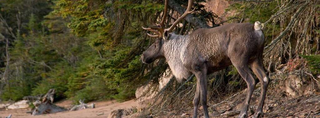 caribou1-medium